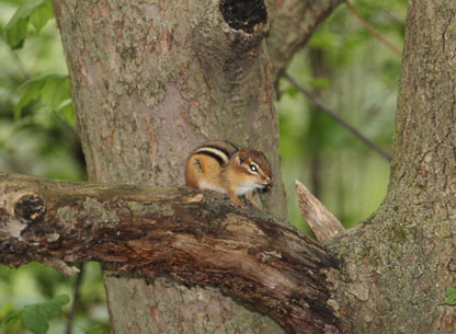 Photograph of a Chipmunk