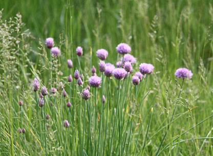 Photograph of Chives in the Meadow