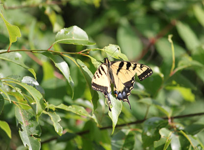 Photograph of a Swallowtail Butterfly